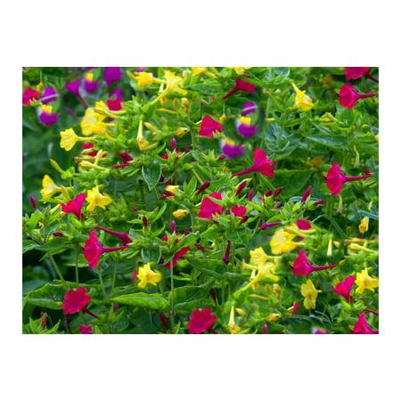 Serendipity's 4 O'clock Rainbow Mix -App 40 Seeds- Mirabilis jalapa Brilliant Blooms- Annual - Perennial Flower -Trumpet Shape