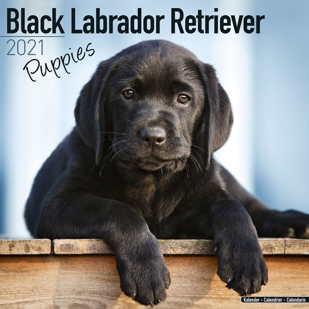 Labrador Retriever Puppies Calendar 2021   Black Lab Retriever