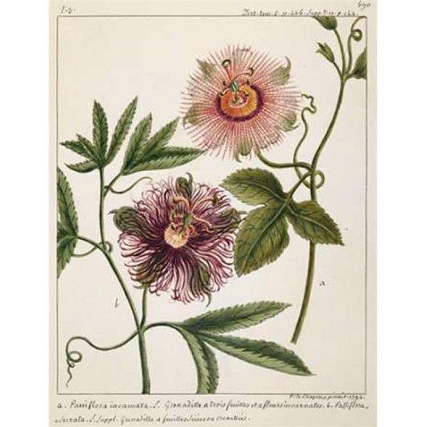 Porter Design Pdxlc02lsmall Passiflora Incarnata Poster Print By