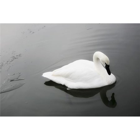 Swan in Calm Water Poster Print by Richard Wear, 34 x 22 - Large - image 1 of 1