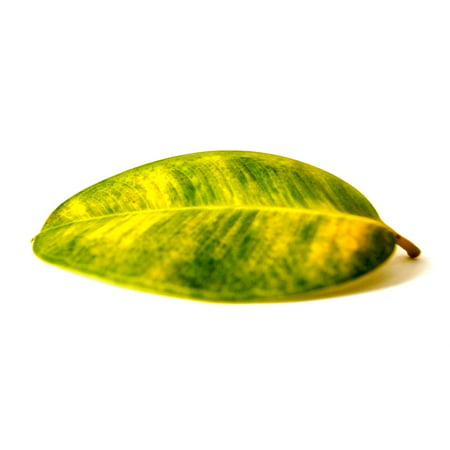 LAMINATED POSTER Rubber Tree Nature Green Cut Out Leaf Plant Poster Print 24 x -