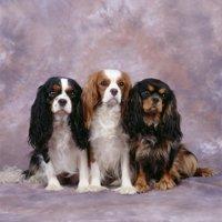 Cavalier King Charles Spaniel Dog Three in Line Print Wall Art