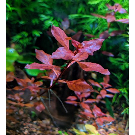 4 Stem Red Ludwigia Palustris, Aquarium Plants for Beginner, Red Freshwater (Best Freshwater Fish For Beginners)