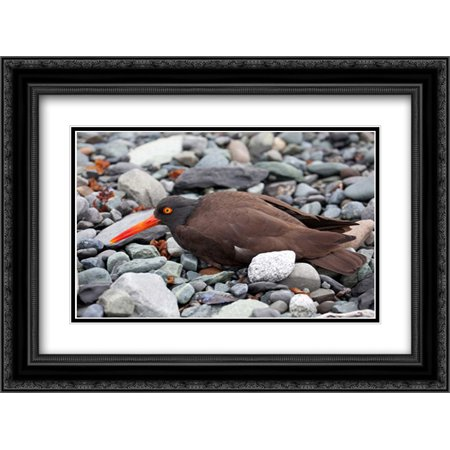 (Black Oystercatcher using broken-wing display to lure intruders away from the nest, Icy Bay, Wrangel 2x Matted 24x18 Black Ornate Framed Art Print by Breiter, Matthias)