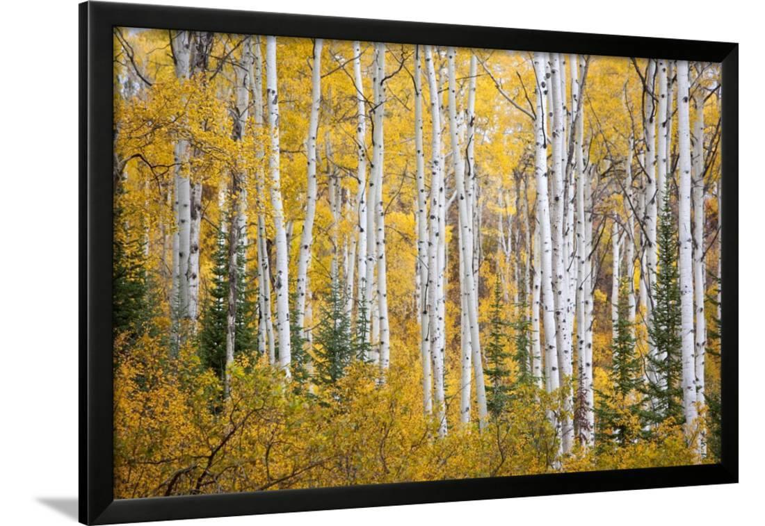 Colorful Aspen Trees. Thorpe Mountain, Colorado Framed Print Wall ...
