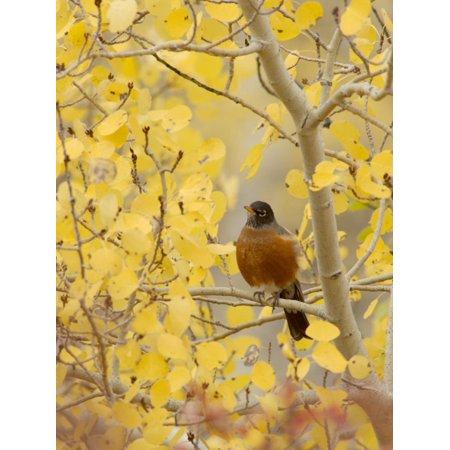Male American Robin in Aspen Tree, Grand Teton National Park, Wyoming, USA Print Wall Art By Rolf Nussbaumer