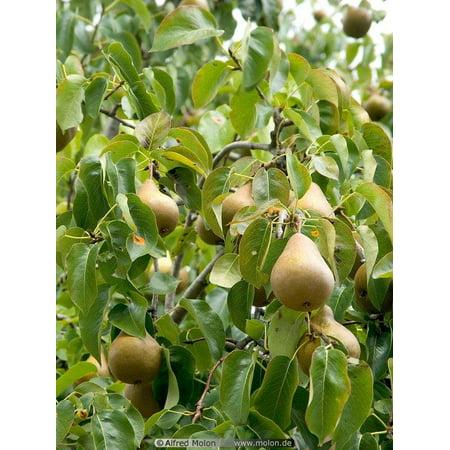 3.25g Pear