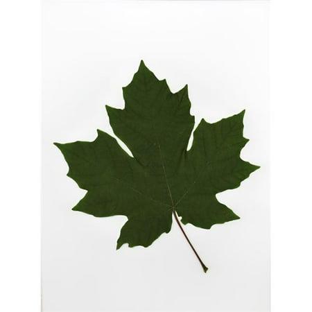 Posterazzi DPI1797078 Leaf Poster Print by Deddeda, 12 x 17 - image 1 of 1