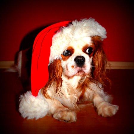 Cavalier King Charles Spaniel Dog (LAMINATED POSTER Pet Cavalier King Charles Spaniel Christmas Dog Poster Print 24 x)