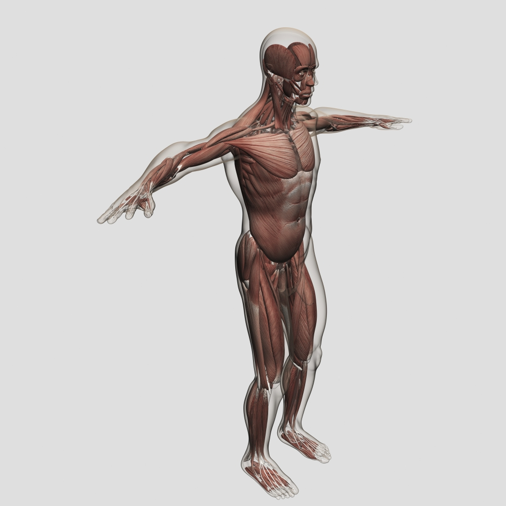 Anatomy Of Male Muscular System Side View Stretched Canvas