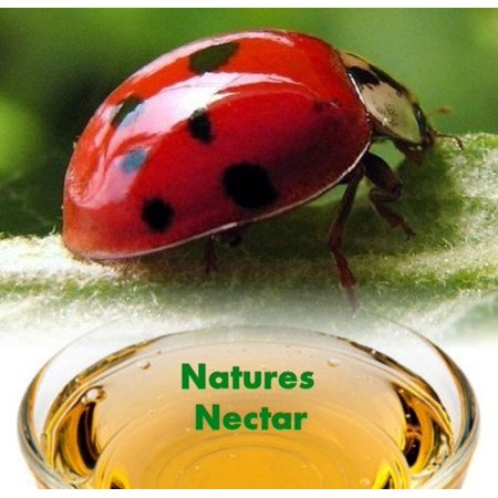 1500 Live Ladybugs + Hirt's Nature Nectar - Guaranteed Live Delivery - Lady Bug Eggs