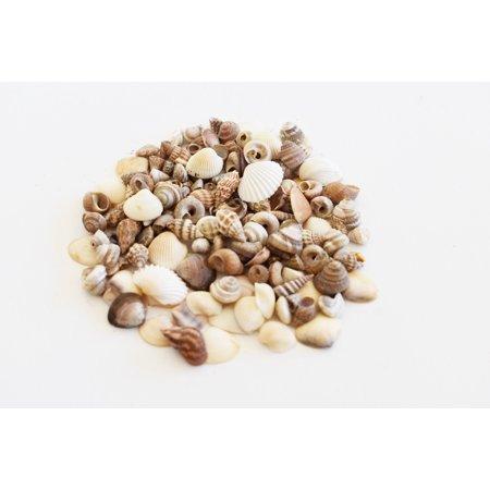 1 oz Sampler (100+) Tiny Indian Ocean Shells Mix Mini Shells 1/4