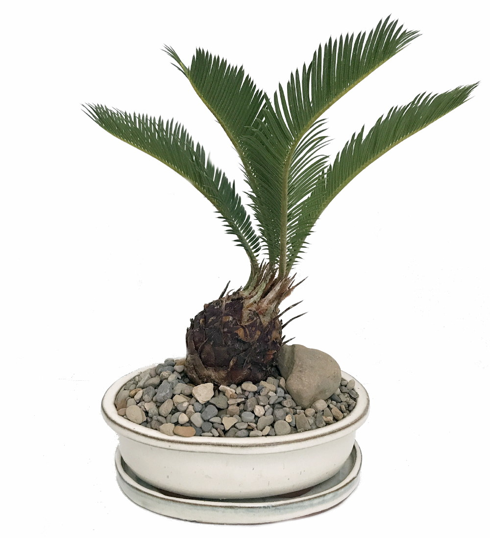 "Sago Palm Bonsai in Bonsai Dish Saucer Pebbles Stone -Easy to Grow- 8"" x 6"" x... by"