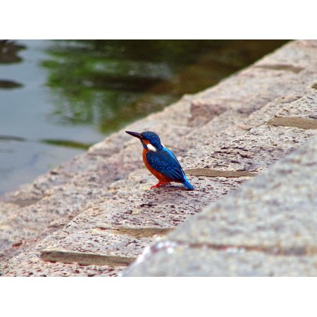 Canvas Print A blue ear kingfisher at a temple tank in Kanchipuram, Tamilnadu. Stretched Canvas 10 x