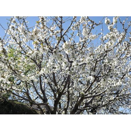 LAMINATED POSTER Cherry Blossom White Flower Cherry Flowering Tree Poster Print 24 x - White Flowering Tree