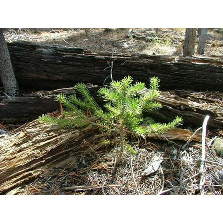 LAMINATED POSTER Pine Green Forest Tree Sapling Grow Seedling Poster Print 24 x 36 Grow Pine Tree