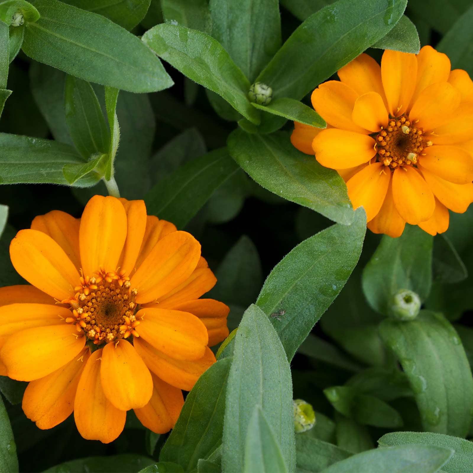 Zinnia Flower Garden Seeds - Profusion Series - Orange - 100 Seeds - Annual Flower Gardening Seed - Zinnia hybrida