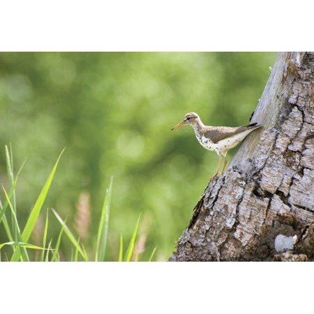 Spotted Sandpiper On A Tree Trunk Canvas Art - Philippe Widling  Design Pics (38 x 24)