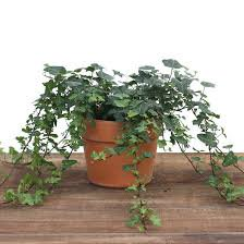 Image of Outer Edge Ivy In 6 Inch Pot