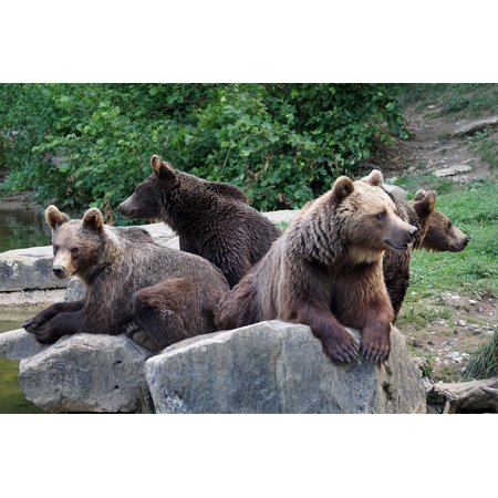 Canvas Print Brown Bears Zoo Bear Wildlife Park Nature Forest Stretched Canvas 10 x (Forest Park Zoo)