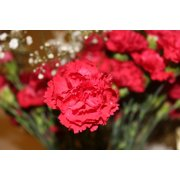 LAMINATED POSTER Carnation Carnations Flowers Flower Red Flowers Poster Print 24 x 36