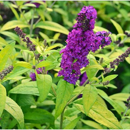 BUZZ Crown Jewels Variegated Butterfly Bush - Buddleia - Fragrant - Gallon Pot