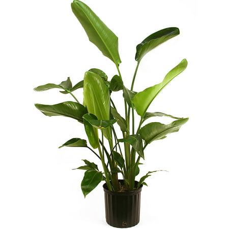 Delray Plants White Bird of Paradise (Strelitzia Nicolai) Easy To Grow Live House Plant, 10-inch Grower