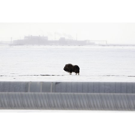 Musk Oxen Stands On Snowcovered Ground With The Central Compression Plant Facility In The Background On The North Slope Prudhoe Bay Arctic Alaska Spring Posterprint