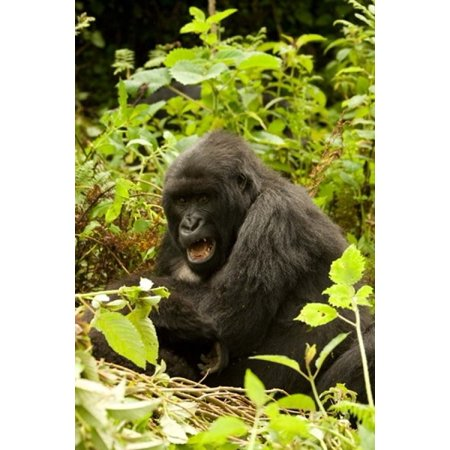 Rwanda Volcanoes NP Mountain Gorilla Sitting Stretched Canvas - Joe & Mary Ann McDonald  DanitaDelimont (11 x