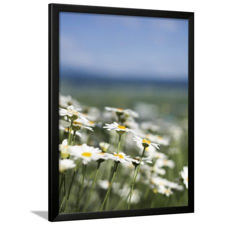 Daisies at Lavender Farm in Furano Framed Print Wall Art By Shayne Hill