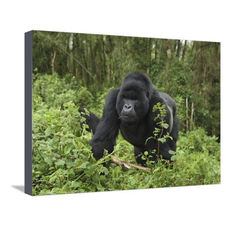Silverback Mountain Gorilla Walking (Gorilla Beringei Beringei), Volcanoes National Park, Rwanda Stretched Canvas Print Wall Art By Thomas Marent