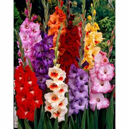 Bloomsz Gladiolus Tropical Flower Bulb Mixture, 50 pk