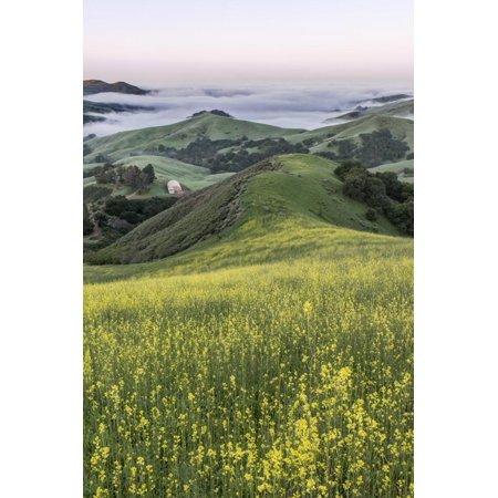 USA, California, Near Paso Robles, Mustard Hill Dawn Print Wall Art By Rob Tilley