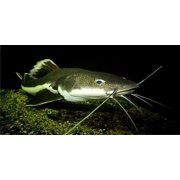 Catfish Underwater Photo License Plate  Free Personalization on this Plate