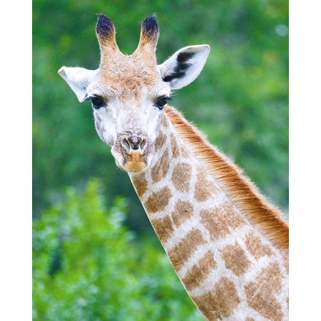 LAMINATED POSTER Safari Seaview Lion Park Giraffe South Africa Poster Print 24 x