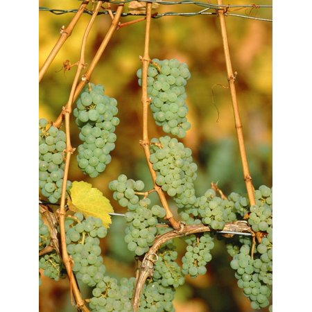 Riesling grapes hanging on vine shoots Print Wall Art By Herbert (Riesling Two Vines)