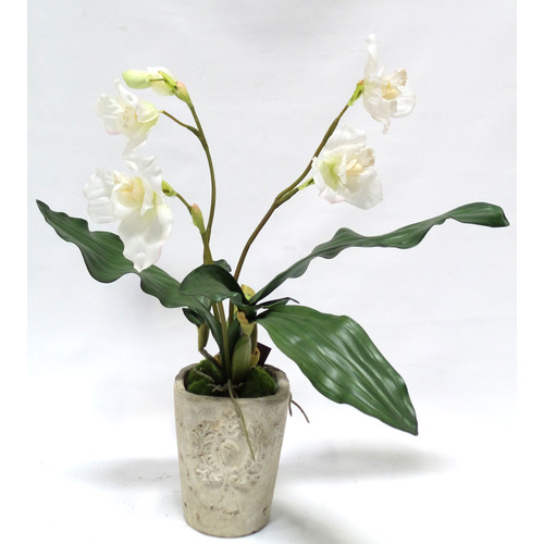 Gold Eagle USA Lycaste Flower and Foliage with Moss in a Pot