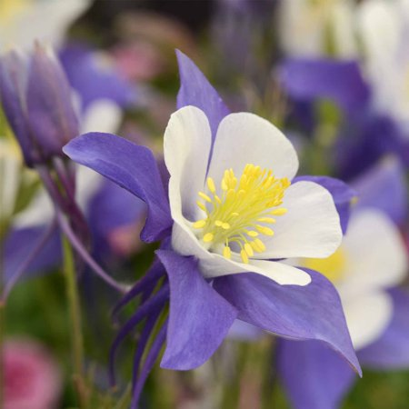 Blue white swan columbine seeds 500 seeds perennial flower blue white swan columbine seeds 500 seeds perennial flower garden seeds aquilegia mightylinksfo