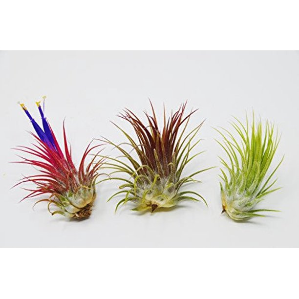 3 Ionantha Guatemala Air Plants Free Care Guide Blooms