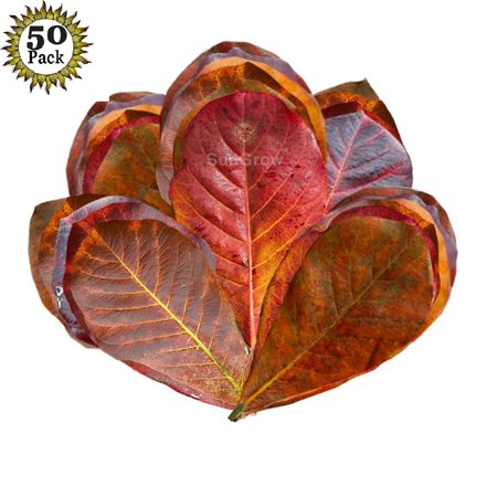 SunGrow Mini Catappa Leaves - 50 Pack - Best Way to Create Tropical Rain forest Environment for Betta & Gouramis - Beneficial Leaf Tannin Turns Water Black, Lowers pH