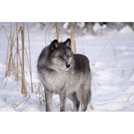 - Wolf In The Snow Canvas Art - Philippe Widling  Design Pics (17 x 11)