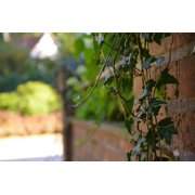 Vine Summer Ivy Nature Wall Garden Branch Plant-24 Inch By 36 Inch Laminated Poster With Bright Colors And Vivid Imagery-Fits Perfectly In Many Attractive Frames
