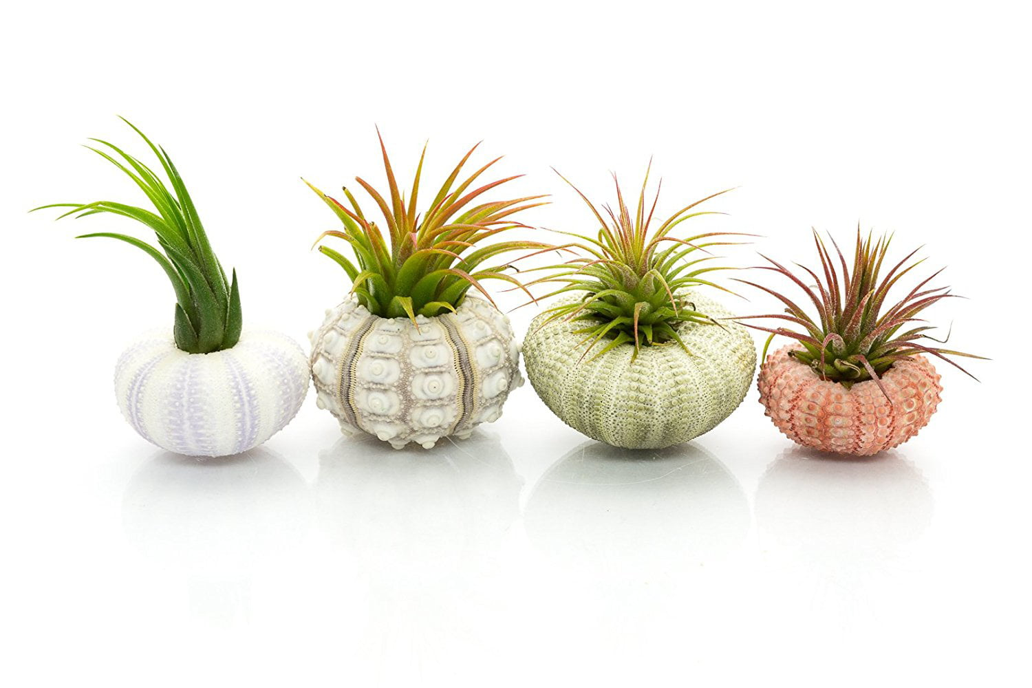 4 Pack Varieties of Sea Urchins with Tillandsia Gift Set TM Nautical Crush Trading Urchin Air Plant Assortment