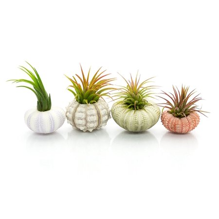 Urchin Air Plant Assortment   Varieties of Sea Urchins with Tillandsia Gift Set   Nautical Crush Trading TM (4 (Plant Potato Sets)