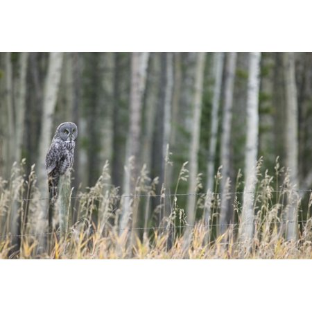 Grey Owl Canvas Art - Darwin Wiggett  Design Pics (17 x 11) ()