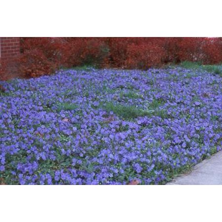 Classy Groundcovers - Vinca minor 'Traditional' {25 Pots - 3 1/2 in.}