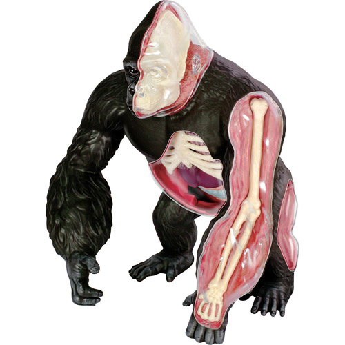 Gorilla Anatomy Model