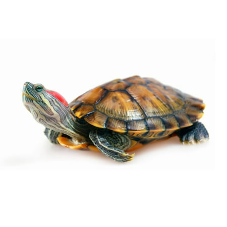 Laminated Poster Red Eared Slider Turtle Pond Terrapin Poster Print 24 x 36 Red Eared Sliders Turtles