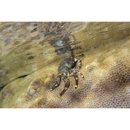 Tidal crab crawling over encrusting zoanthid Poster Print by VWPicsStocktrek (Best Food For Zoanthids)