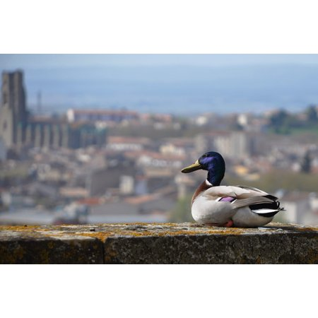 Canvas Print Birds Castle Beak Volatile Geese Animals Duck Stretched Canvas 32 x 24 (Duck Beak)